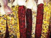 Indian corn for web | Patterson Farm